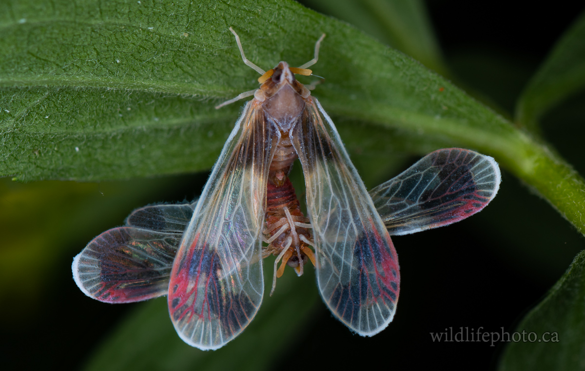 Anotia Uhleri - Derbid Planthopper