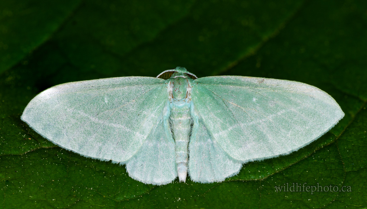 Bad-wing Moth