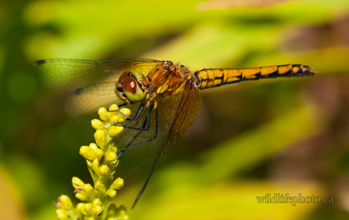 Female Band-winged Meadowhawk
