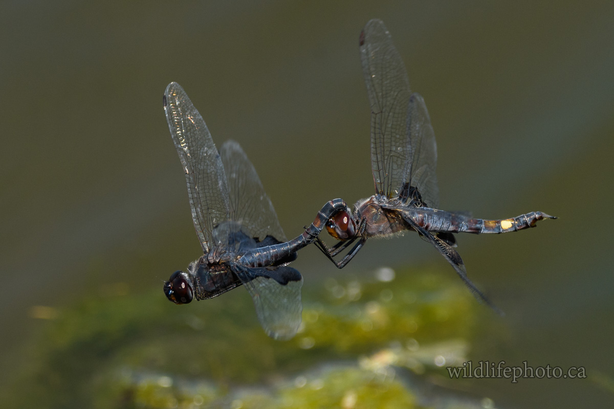 Black Saddlebags - Tandem Flight