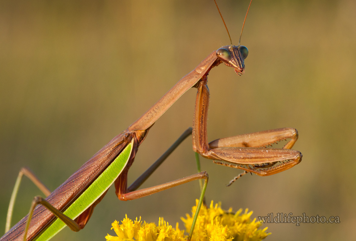 Male Chinese Mantis