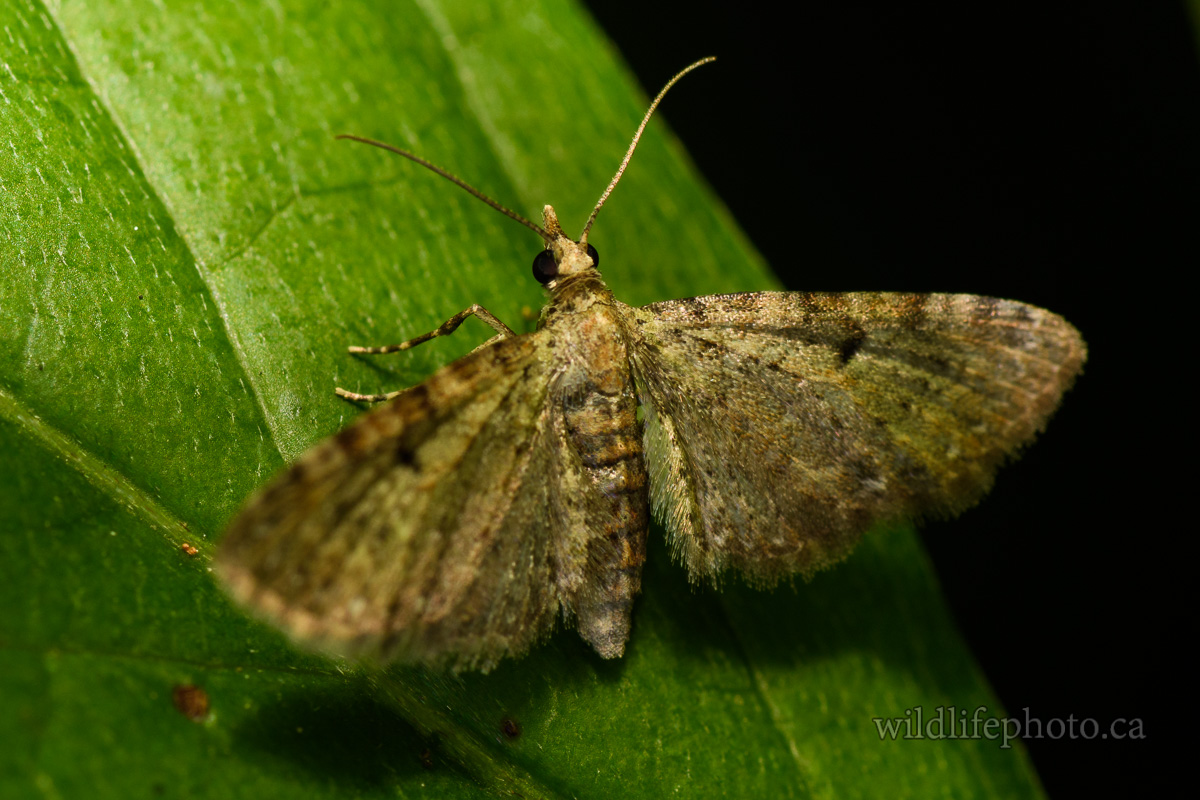Common Eupithecia Moth