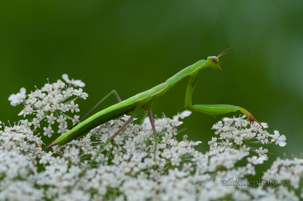 Immature European Praying Mantis
