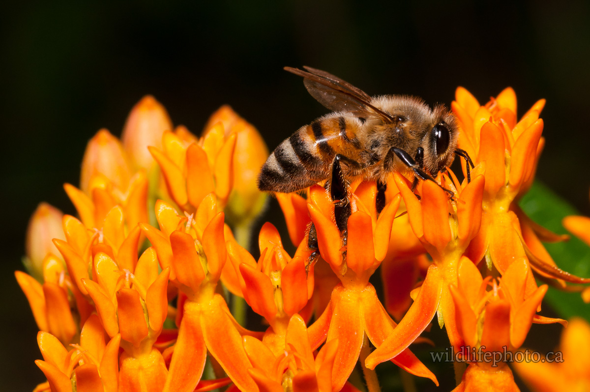 Honey Bee on Butterfly Weed