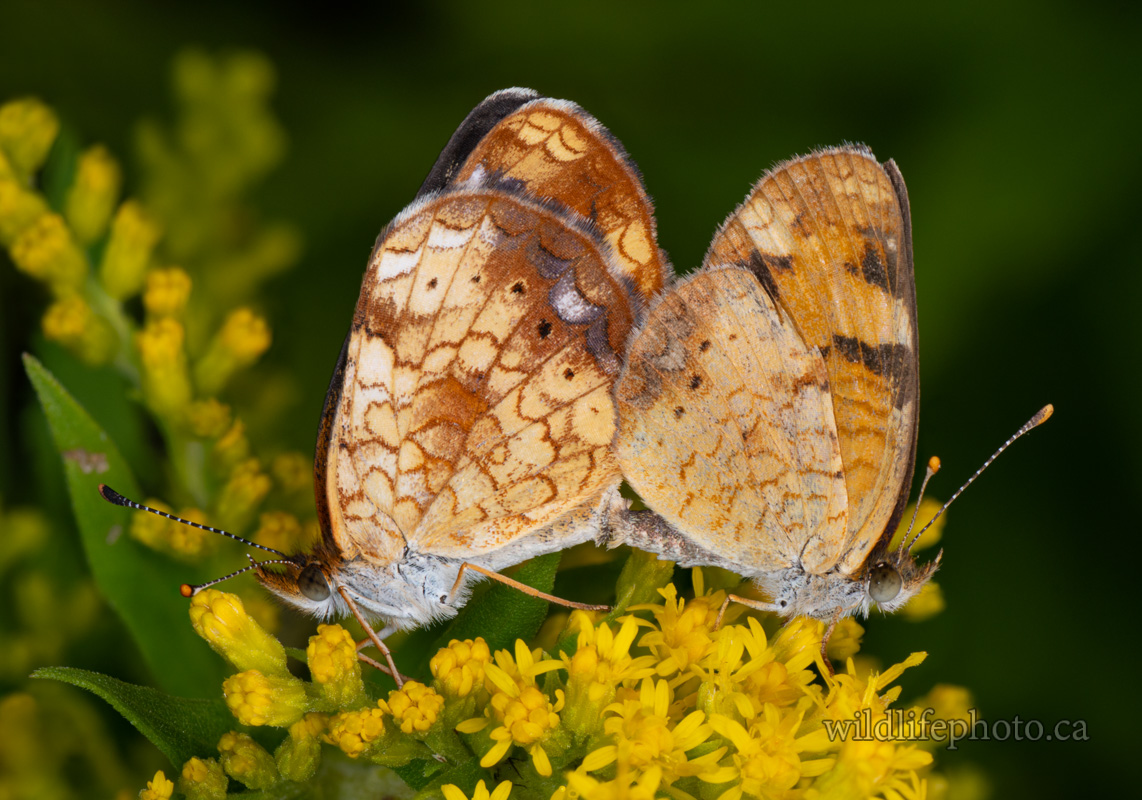 Northern Crescent Butterflies Mating