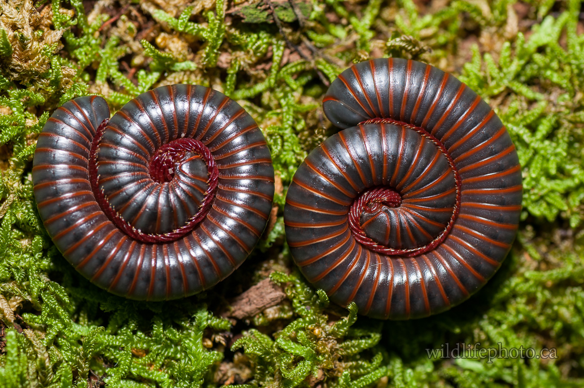 Red-striped Gray Millipede's