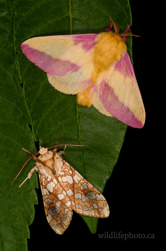 Rosy Maple and Hickory Tussock Moth