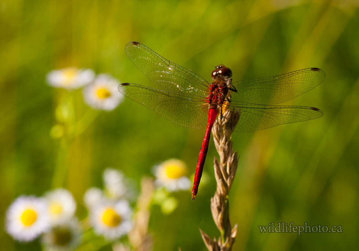 Male Ruby Meadowhawk