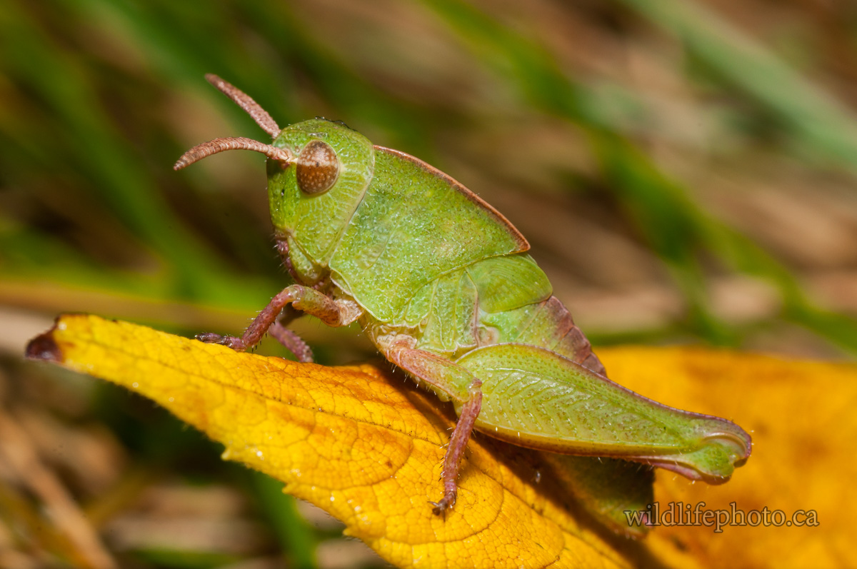 Shield-backed Katydid